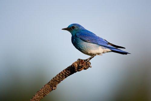TC-Mountain Bluebird-D00070-00008.jpg