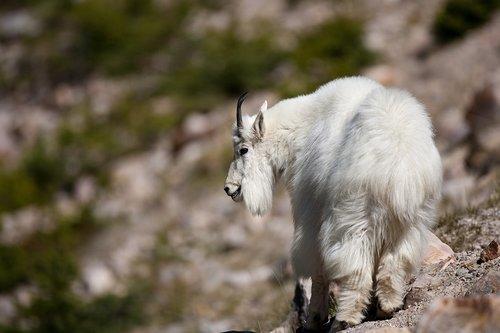 TC-Mountain Goats-D00357-00059.jpg