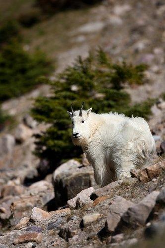 TC-Mountain Goats-D00357-00063.jpg