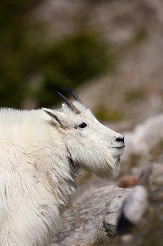 TC-Mountain Goats-D00357-00067.jpg