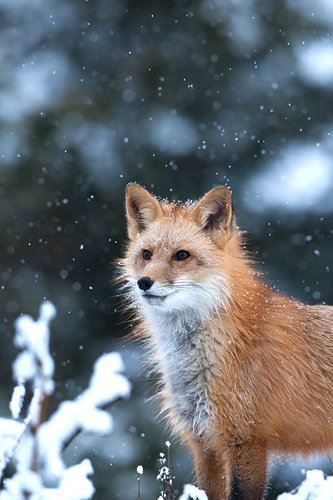 TC-Red Fox-D00345-00009.jpg