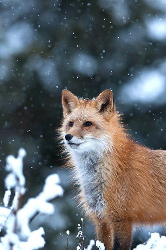 TC-Red Fox-D00345-00015.jpg