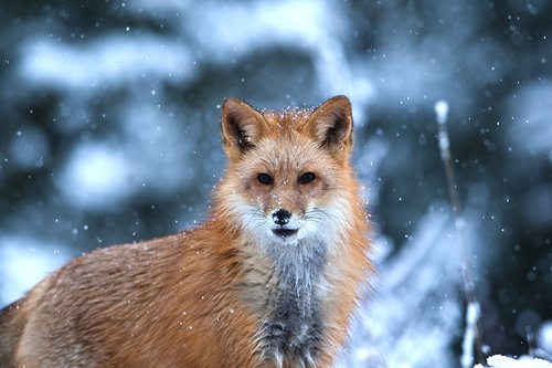 TC-Red Fox-D00345-000181.jpg