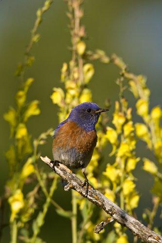 TC-Western Bluebird-D00071-00002.jpg