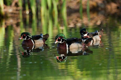 TC-Wood Ducks-D00222-00001.jpg