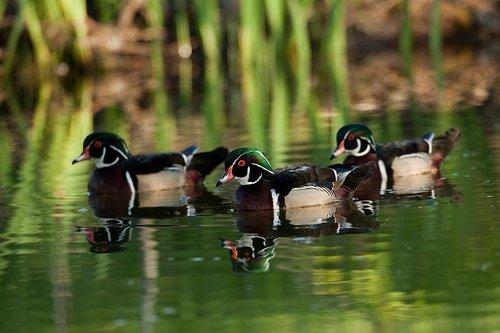 TC-Wood Ducks-D00222-00004.jpg