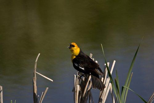 TC-Yellowheaded Blackbird-D0593-00012.jpg