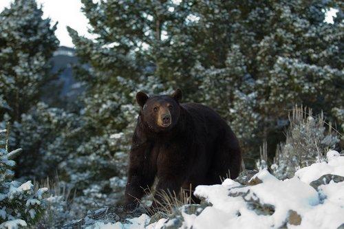 TC-Black Bear Snow-D00047-00001.jpg