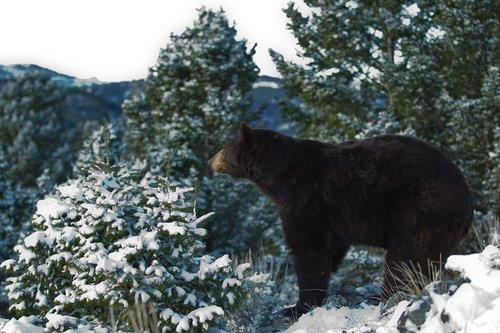 TC-Black Bear Snow-D00047-00012.jpg