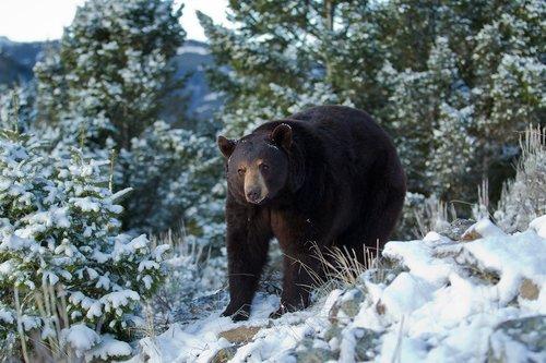TC-Black Bear Snow-D00047-00021.jpg