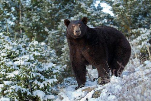 TC-Black Bear Snow-D00047-00033.jpg