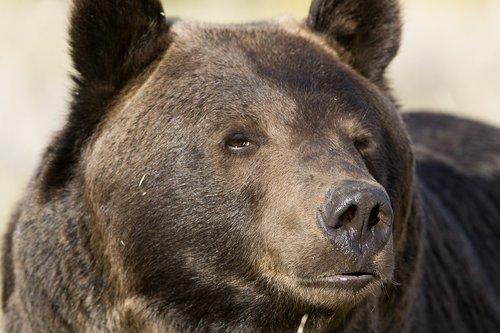 TC-Grizzly Bear-D00051-00001.jpg