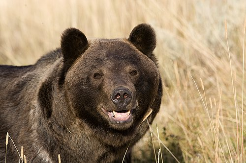 TC-Grizzly Bear-D00051-00021.jpg