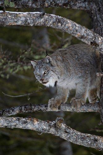 TC-Lynx-Snow-D00590-00012.jpg