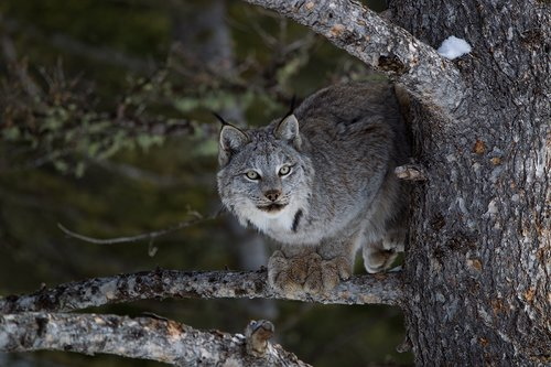 TC-Lynx-Snow-D00590-00021.jpg