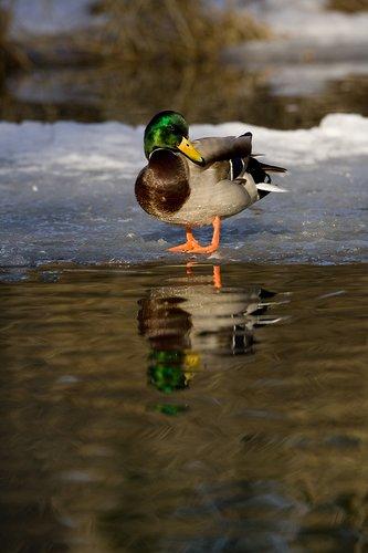 TC-Mallard Ducks-D00594-00140.jpg