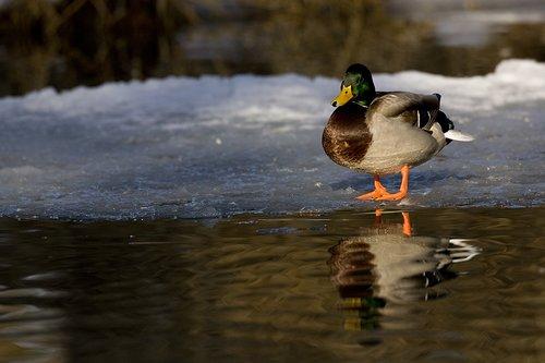 TC-Mallard Ducks-D00594-00141.jpg