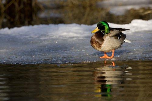 TC-Mallard Ducks-D00594-00147.jpg