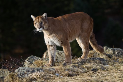 TC-Mountain Lion-D00577-00005.jpg