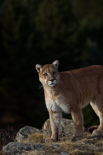 TC-Mountain Lion-D00577-00007.jpg