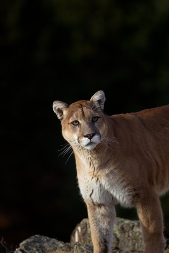 TC-Mountain Lion-D00577-00012.jpg