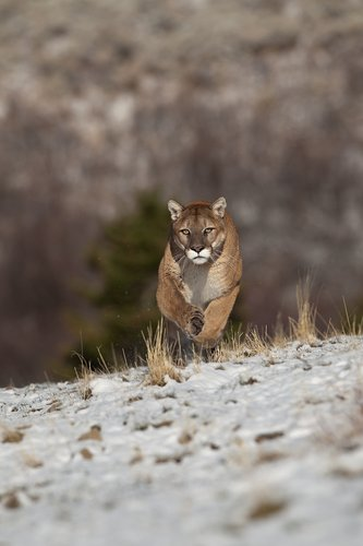 TC-Mountain Lion-Snow-D00578-00001.jpg
