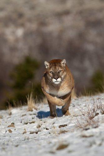 TC-Mountain Lion-Snow-D00578-00003.jpg