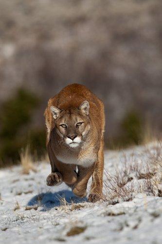 TC-Mountain Lion-Snow-D00578-00006.jpg