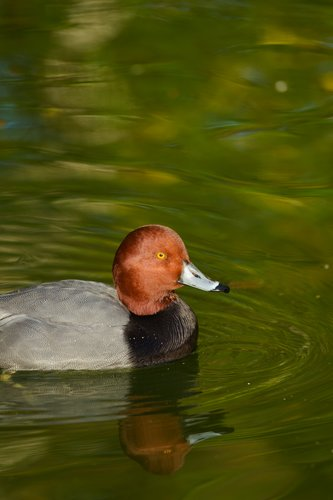 TC-Redhead Duck-D00884-00005.jpg