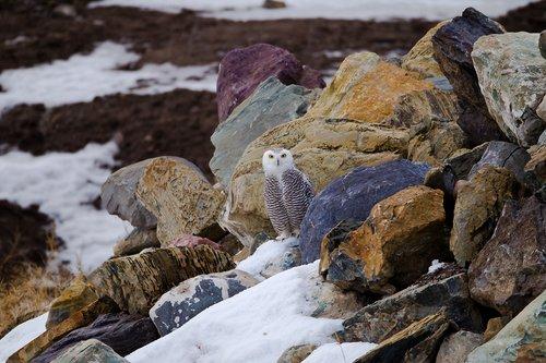 TC-Snowy Owls-D00700-00012.jpg