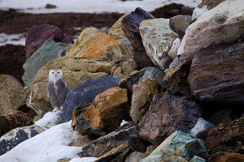 TC-Snowy Owls-D00700-00024.jpg