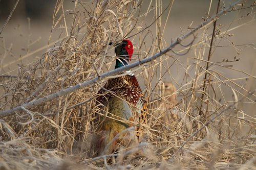 TC-Ringneck Pheasant Rooster-D00718-00002.jpg