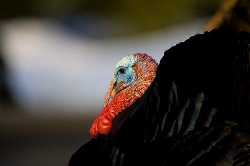 TC-Wild Turkeys Spring-D00978-00009.jpg