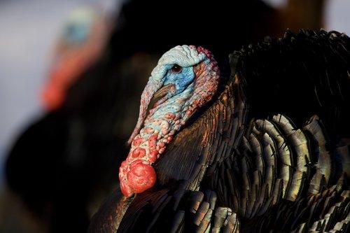 TC-Wild Turkeys Spring-D00978-00014.jpg