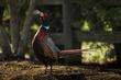 TC-Ringneck Pheasant Rooster-D00718-01525.jpg