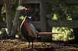 TC-Ringneck Pheasant Rooster-D00718-01526.jpg