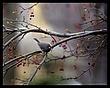 Slate Colored Junco in Winter Crabapple 8x10.jpg