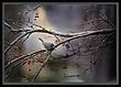 Slate Colored Junco in Winter Crabapple 8x11.jpg