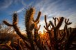 Cholla Cactus Sunburst Anza Borrego 2014.jpg