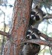Baby Raccoons.jpg