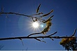 Australian Buds -- Bourgeons Australiens.jpg