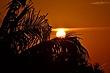 Burning Palm -- Palmier Flamboyant.jpg