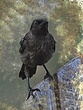 Baby Grackle Abstract.jpg