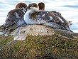 Baby Mergansers Resting On Rock.jpg