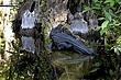 Big Cypress Alligator.jpg