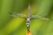 Blue Dasher in obelisk posture.jpg