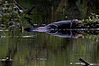 Bull Alligator.jpg