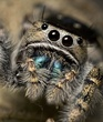 Daring Jumping Spider. (Phidippus audax) 2.jpg