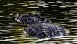 Endangered North American Crocodile.jpg