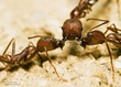 Harvester ants attacking an invading Leaf-cutter ant..jpg